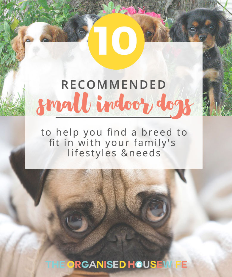"My family and I had been looking for a small indoor dog for quite some time, but we weren't sure what breed would be suitable for us. It is so important to research into what breed suits your family's lifestyles and needs. I took to Facebook and asked ""What breed do you recommend as a small indoor dog?"". Here are your top 10 recommended small indoor dogs!"